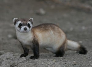 https://upload.wikimedia.org/wikipedia/commons/c/cf/Mustela_nigripes_2.jpg