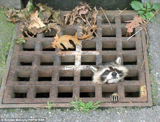Raccoon in drain 1