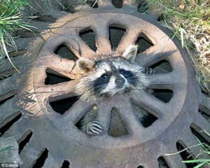 Racoon stuck in circular drain cover