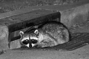 Raccoon in sewer